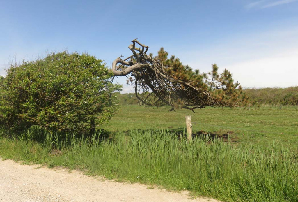 Windgebeugter Baum